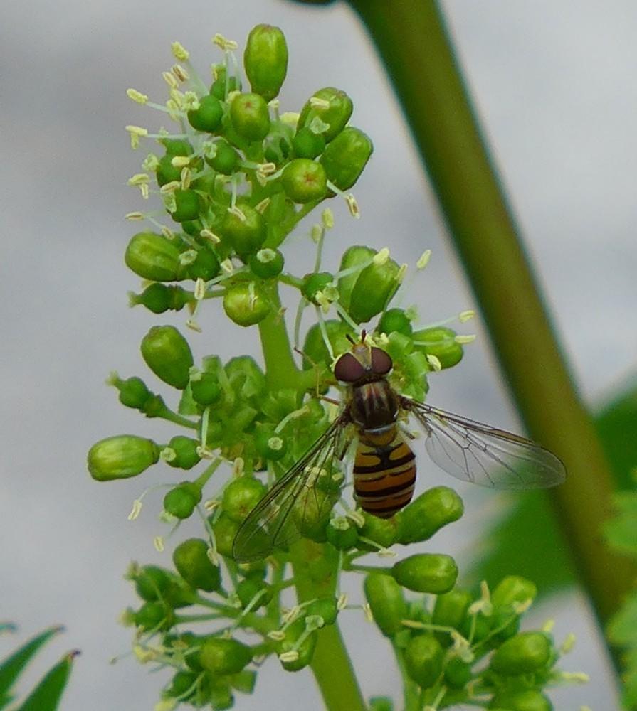 """Des """"mini abeilles"""" sur mon cep de vigne..."""
