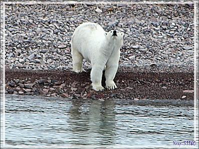Notre premier ours blanc (Polar bear) de la journée (suite) - Peel Sound - Prince of Wales Island - Nunavut - Canada