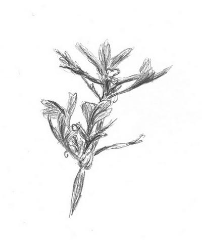 Croquis de plantes (suite)
