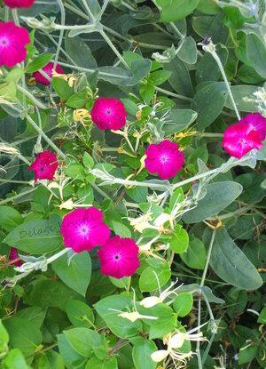Ipomée rose