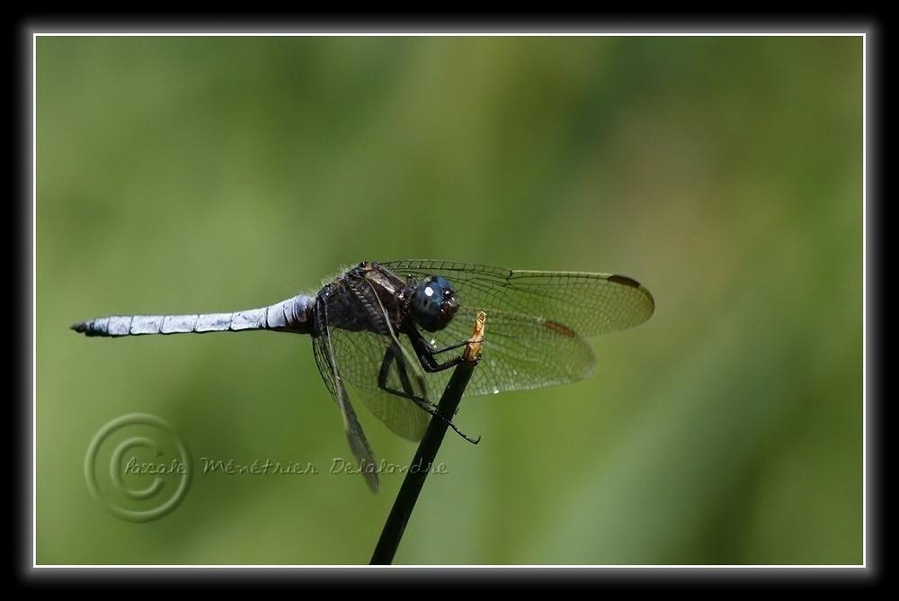 Orthétrum bleuissant (Orthetrum coerulescens) mâle...