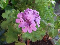 Géranium vivace et Pelargonium