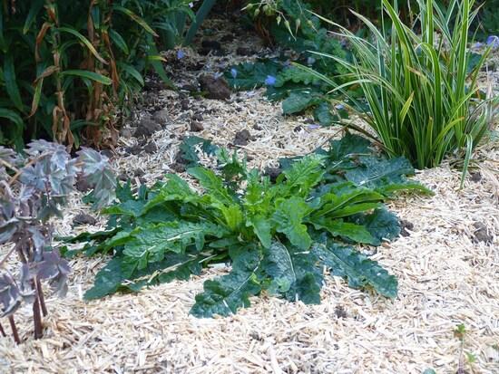 Verbascum Blattaria Alba