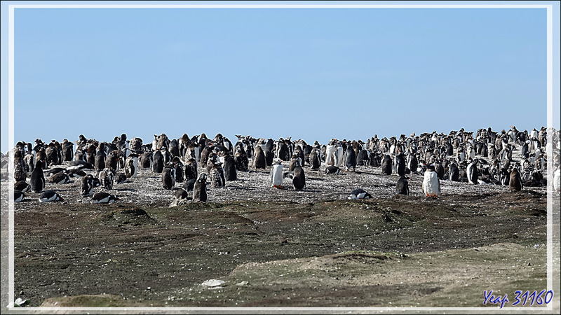 Colonie de Manchots papous, Gentoo Penguin (Pygoscelis papua) - Saunders Island - Falkland (Malvinas, Malouines) - Grande-Bretagne
