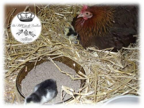 Poussinière : élevage des poussins