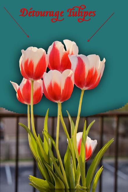 Détourage des tulipes