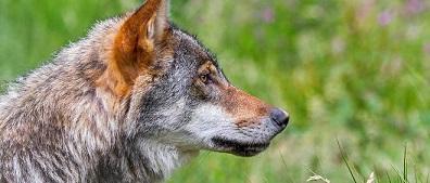 Les loups ouh ouh ... les loups sont entrés en Vendée ...