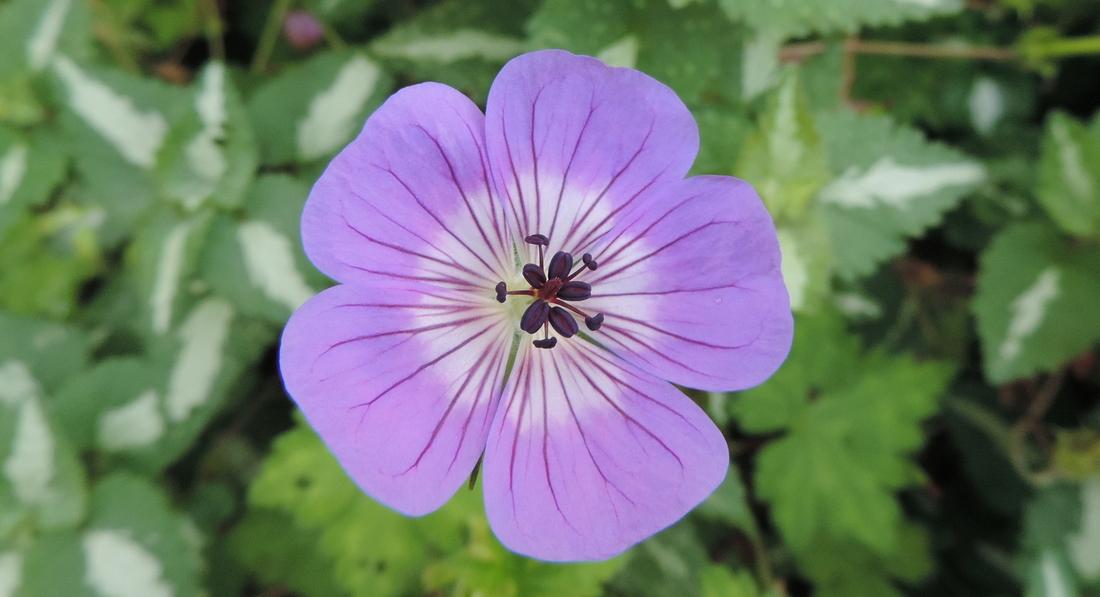 de jolie fleurs bleutées !