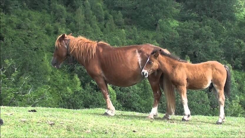 """Résultat de recherche d'images pour """"image cheval le basque"""""""