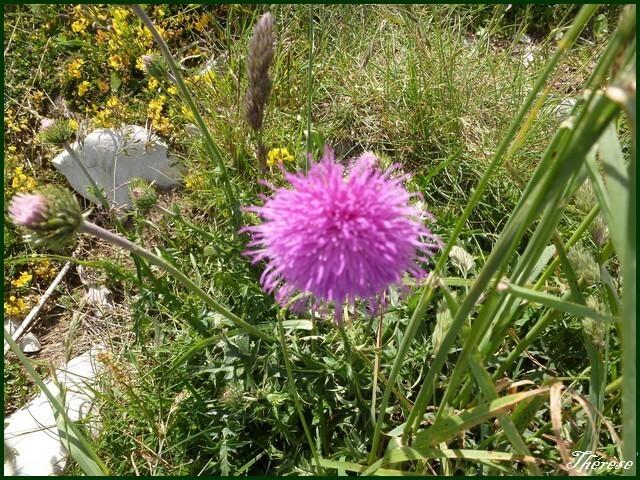 Flore du Grand Colombier (5)