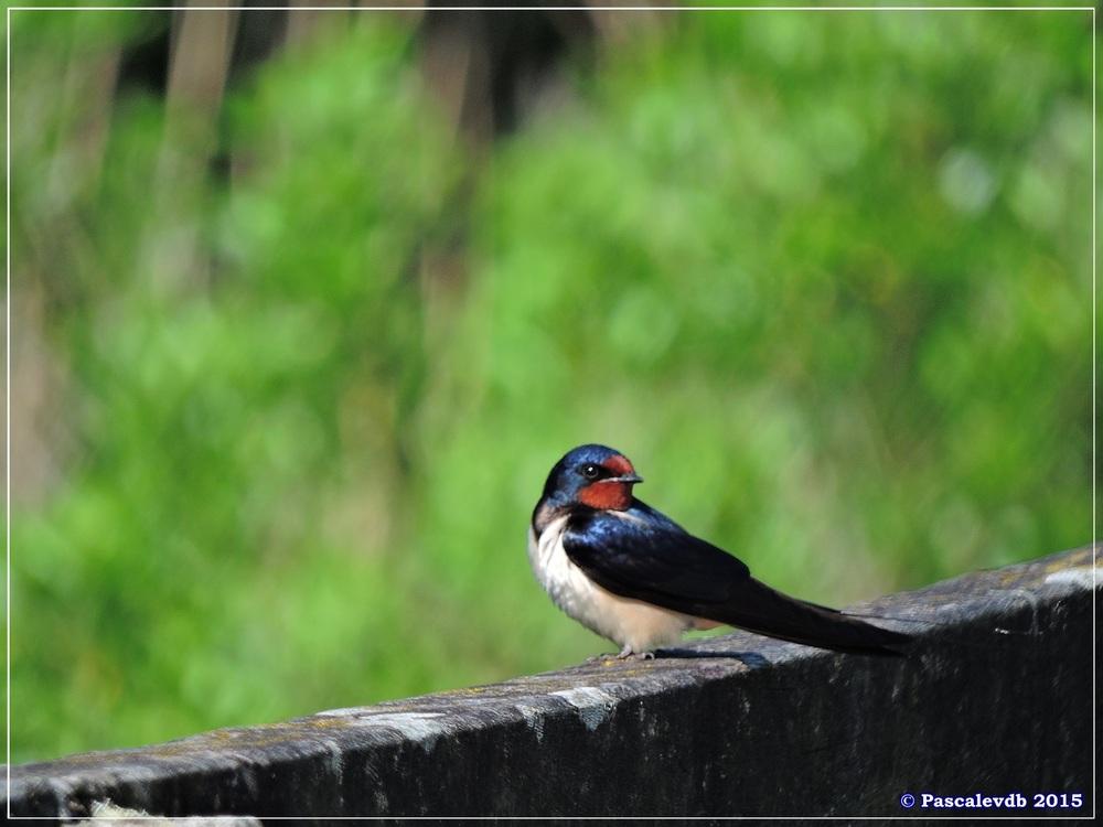 Printemps 2015 à la réserve ornitho du Teich - 1/13