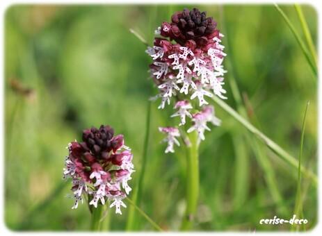de si jolies fleurs des champs