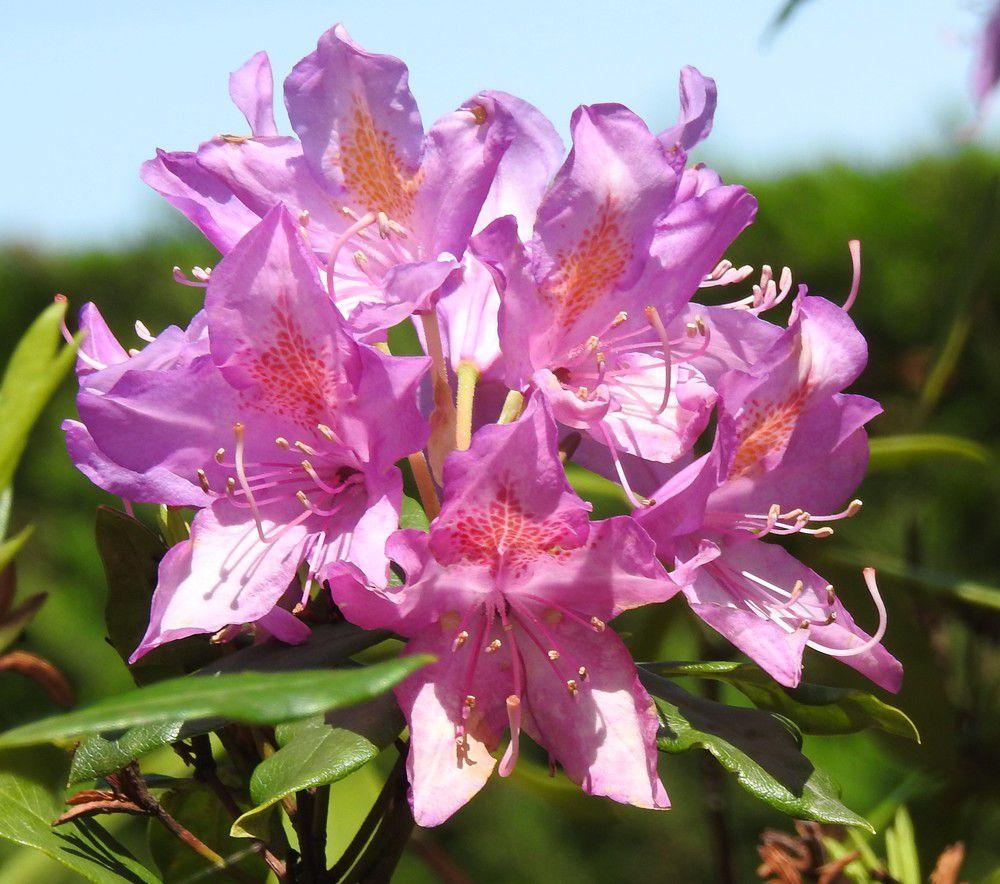 Fleurs au jardin - mai 2020...