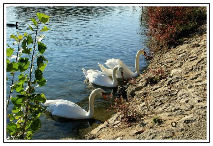 Cygnes sur la Marne