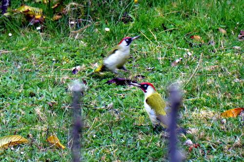 Deux oiseaux dans mon espace vert!