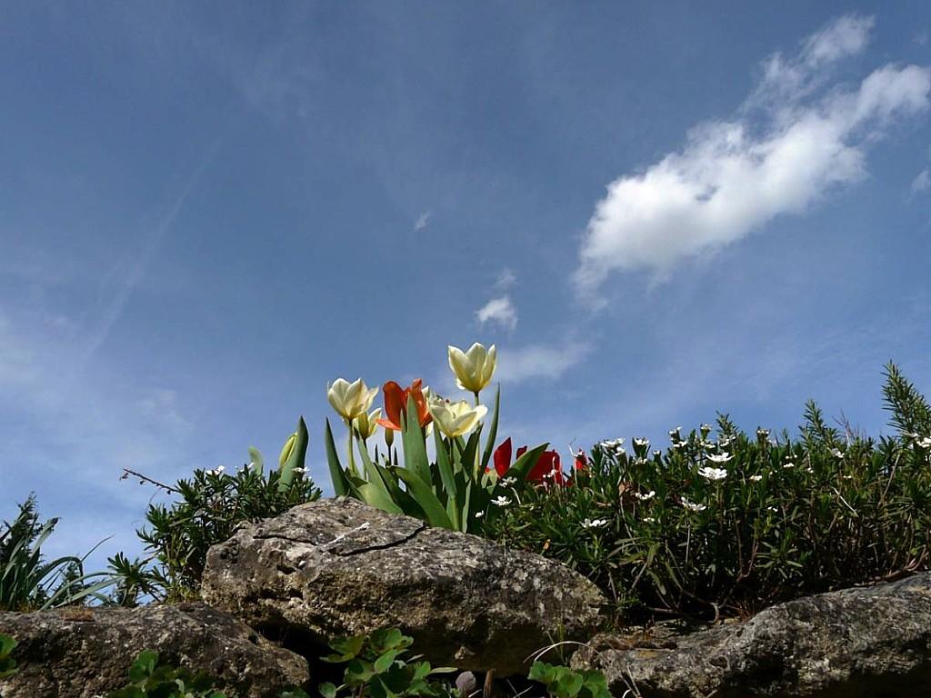 Tulipes-sur-ciel.jpg