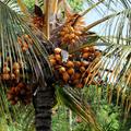 Cocos - De très nombreuses vertus - Photo : Edgar