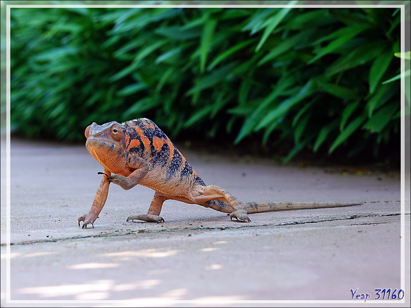 Caméléon panthère femelle, Panther chameleon (Furcifer pardalis) - Nosy Be - Madagascar
