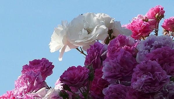 Rosiers-blanc-et-rose-16-05-11-P1190466.JPG