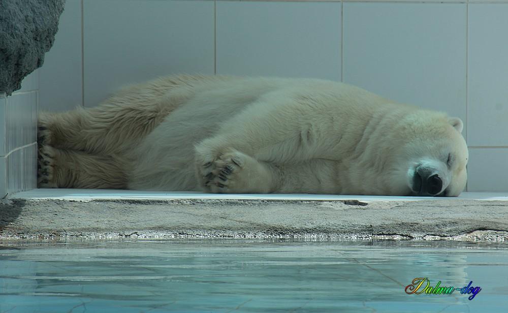"ours blanc "" la Palmyre"""