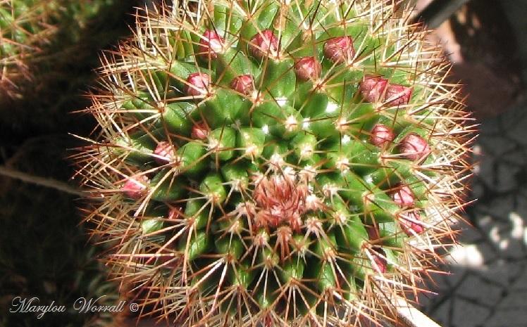 Mes cactus mammillaria