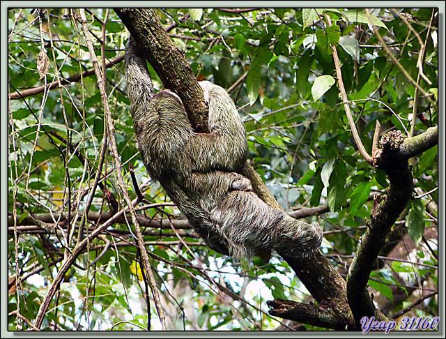Blog de images-du-pays-des-ours : Images du Pays des Ours (et d'ailleurs ...), Maman Aï et Bébé Aï se promènent - Refuge national de Faune Hacienda Barù - Dominical - Costa Rica