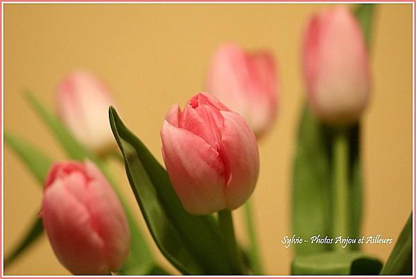 tulipes - OB