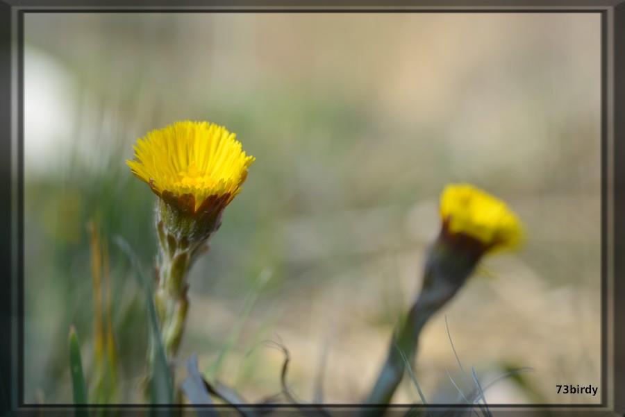 Pionnière jaune