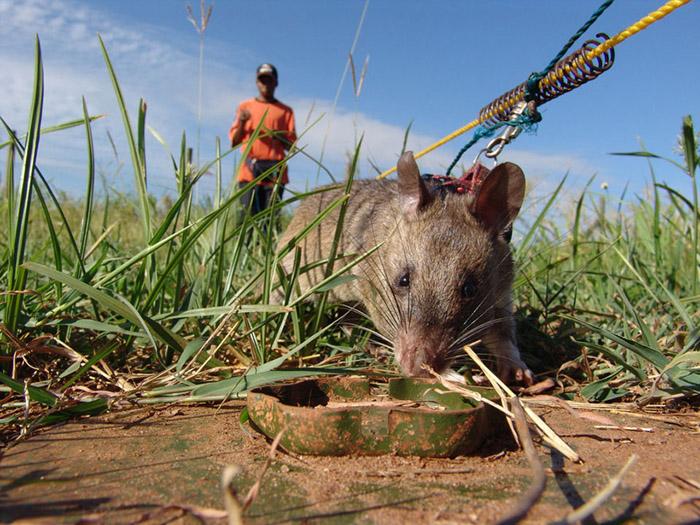 Au Mozambique, seulement 30 rats ont trouvé plus de 1500 min.
