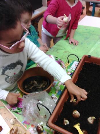 Les MS plantent des bulbes de tulipes