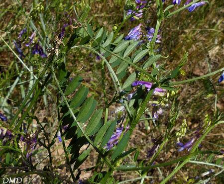 Vicia villosa subsp. varia  -  vesce bigarée
