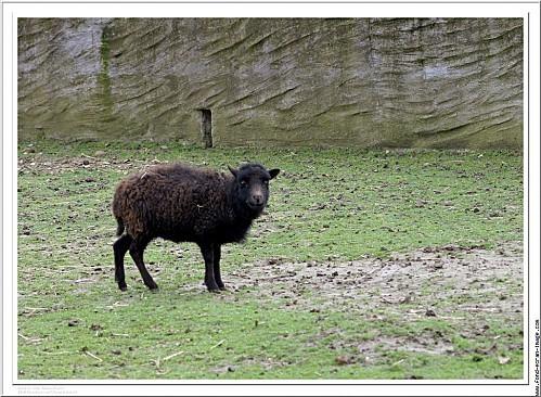 mouton-d-ouessant-breton