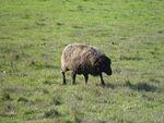moutons_Landes_de_Bretagne__3_