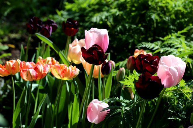 Tulipes 2017 : Black Jack