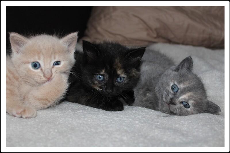 Les 4 chatons à un mois.