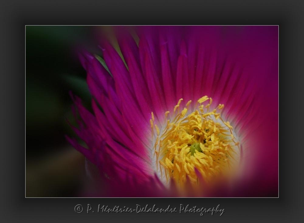 Fleur de ficoide (griffes de sorcières)