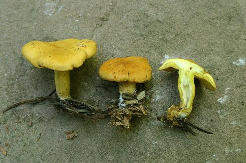 Rugosomyces chrysenteron