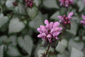 Lamium Nancy White
