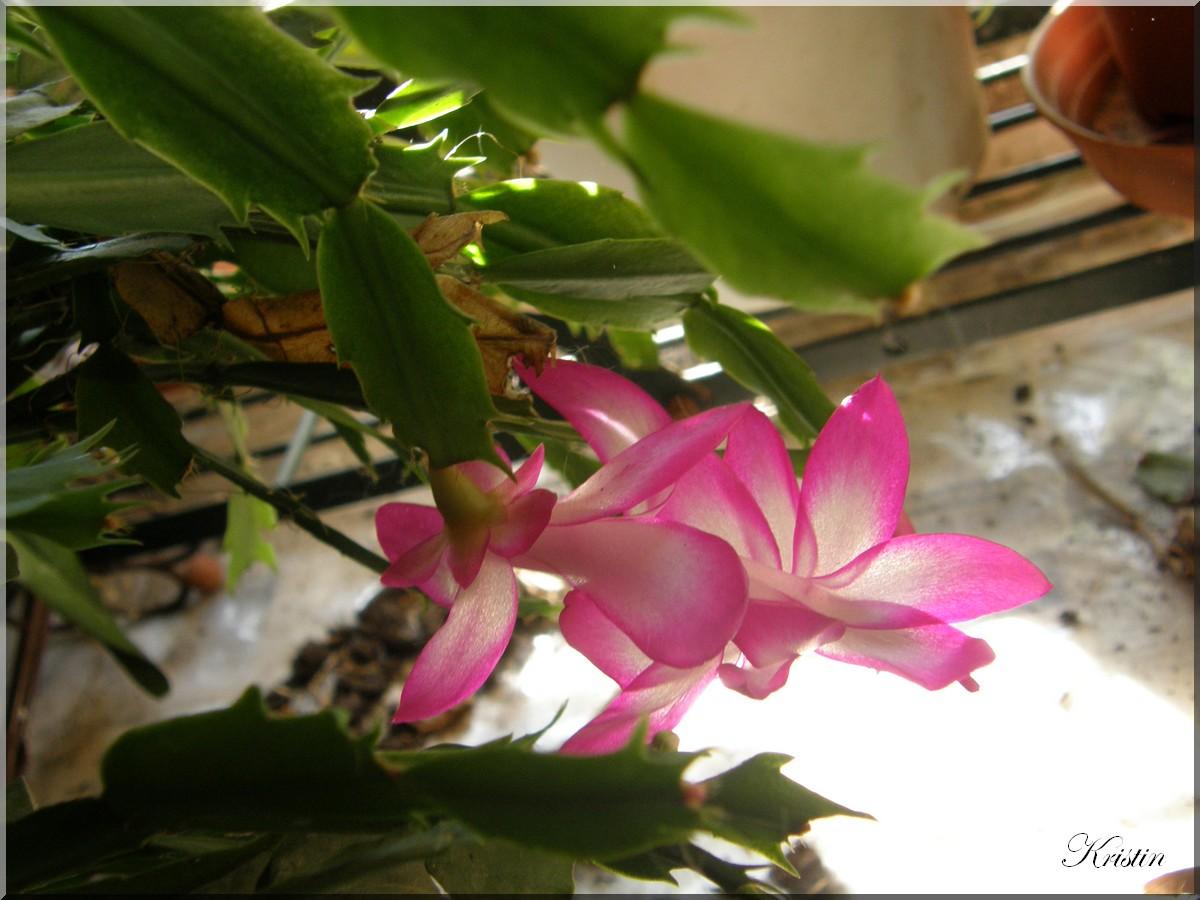cactus noel