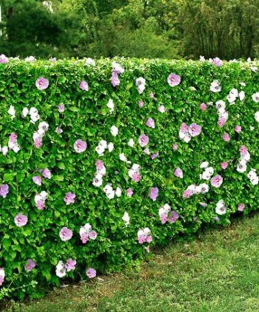 L 39 althea le jardin de jean marie - Haie hibiscus de jardin ...