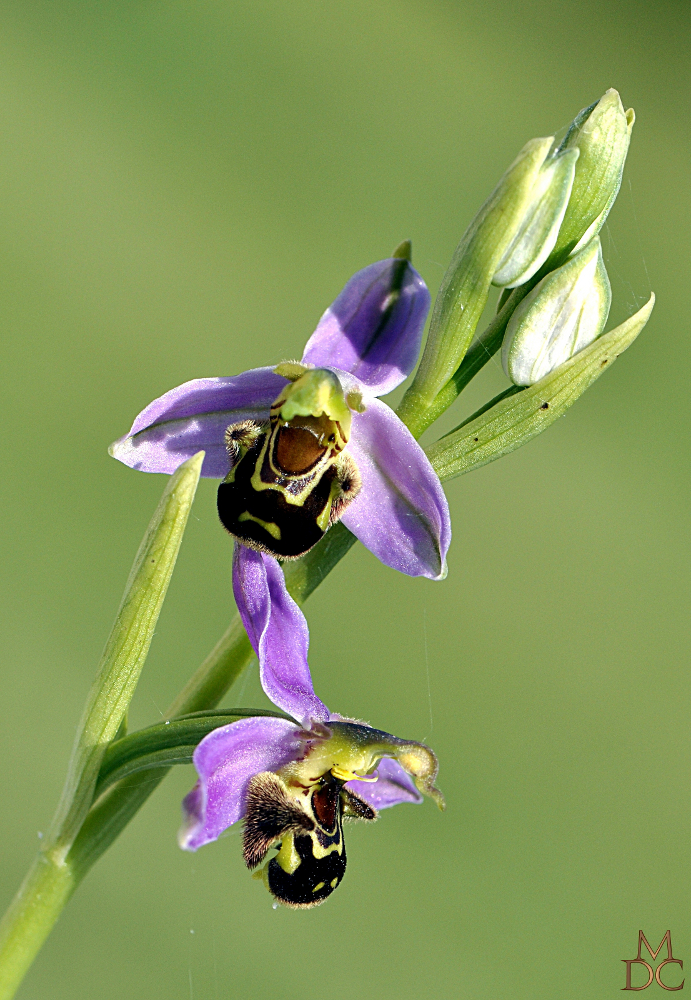 """OPHRYS """"ABEILLE"""""""
