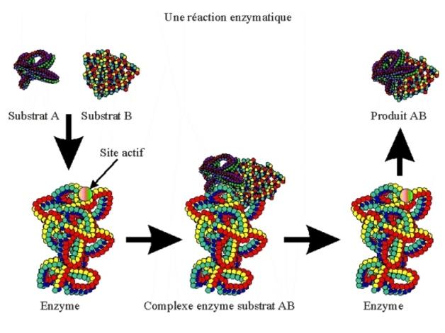 Métabolisme bactérien