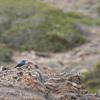 Monticole bleu (Aiguamolls 29 avril 2016 © Jean-Luc Déniel)