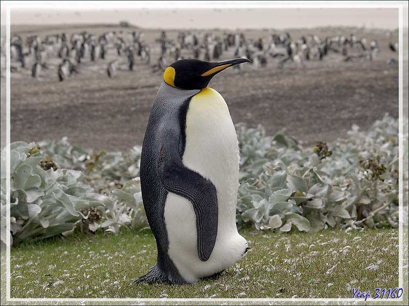 Un dernier regard sur des Manchots royaux isolés, King penguin (Aptenodytes patagonicus) - The Neck (Le Détroit) - Saunders Island - Falkland (Malvinas, Malouines) - Grande-Bretagne