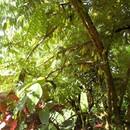 Bilimbi ou arbre à cornichons - Photo : Fritz
