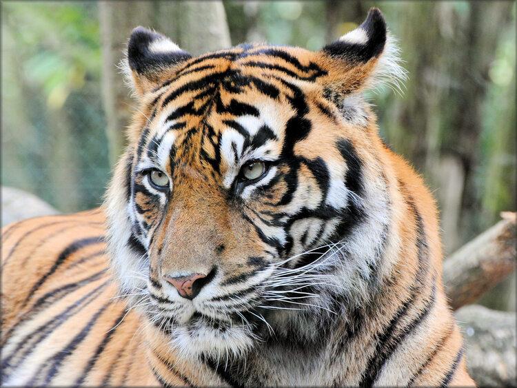 Photos de Tigre de Sumatra - Zoo de la Boissière du Doré