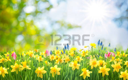 Spring Easter background with beautiful yellow daffodils