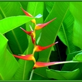 Heliconia latispatha - Photo : Caro