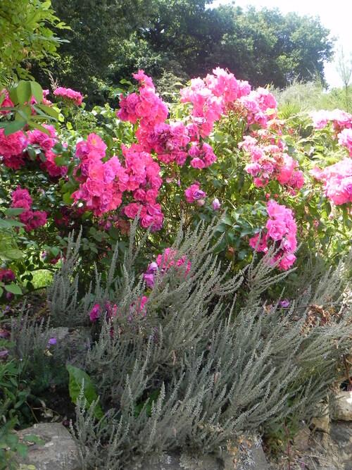 Mélanges Roses /Vivaces