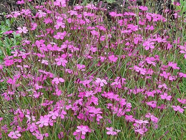 800px-Dianthus deltoides01